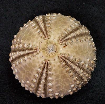 Sea urchin test